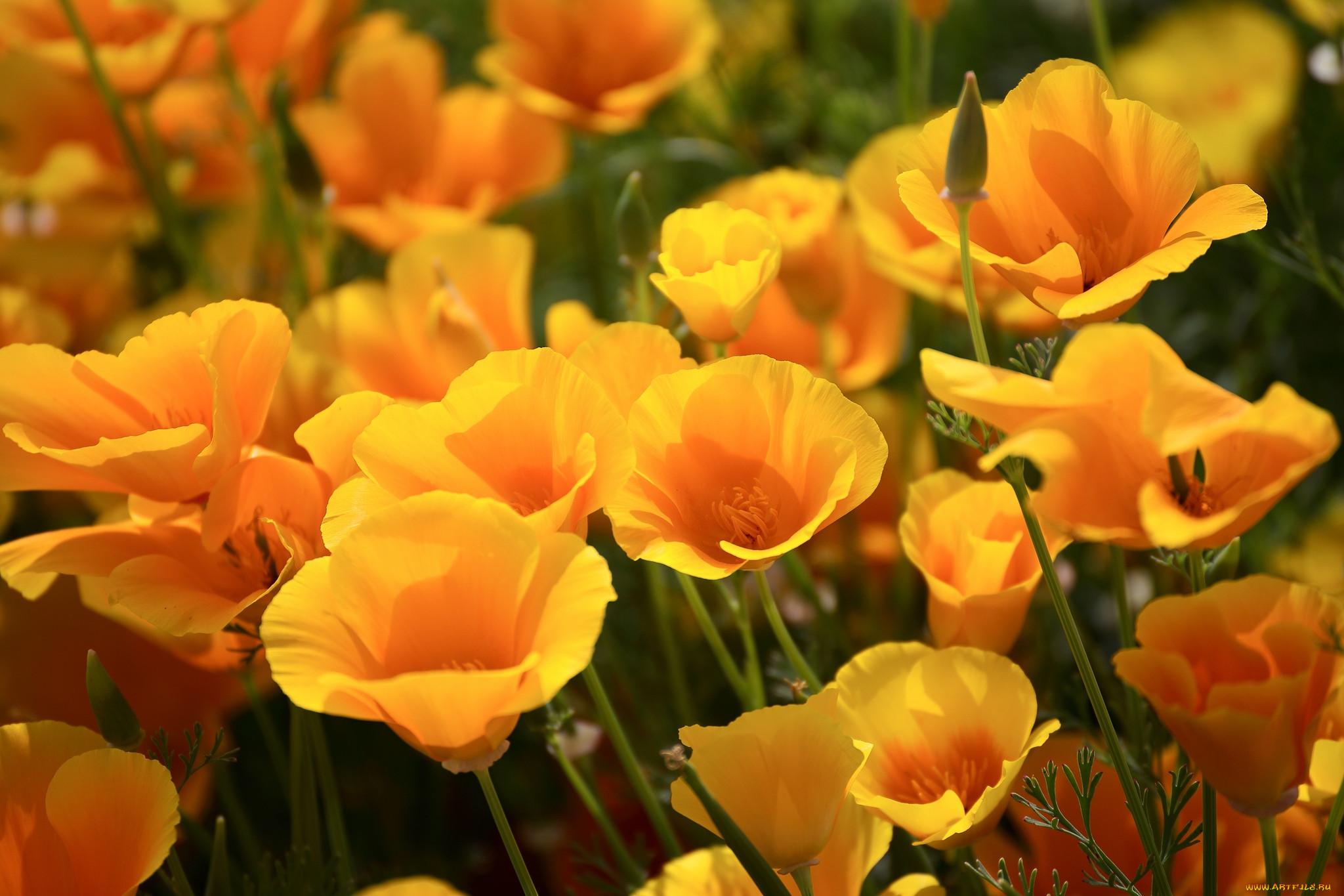 Обои цветы, Эшшольция. Цветы foto 12
